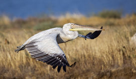 Dalmatian Pelican in Flight (Pelecanus crispus) Royalty Free Stock Image
