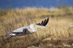 Dalmatian Pelican in Flight (Pelecanus crispus) Royalty Free Stock Photography