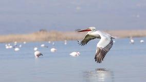 Dalmatian Pelican in Flight Royalty Free Stock Photography