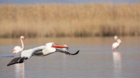 Dalmatian Pelican in Flight Stock Image