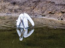 Dalmatian pelican floating in the water, Near threatened bird from Europe. A dalmatian pelican floating in the water, Near threatened bird from Europe royalty free stock photos