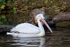 Dalmatian pelican floating on water stock photos