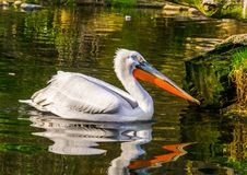 Dalmatian pelican floating in the water, tropical bird from Europe and India, Near threatened animal specie. A Dalmatian pelican floating in the water, tropical stock photos