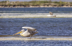Dalmatian Pelican Harassed  by Yellow-legged Gull Stock Images