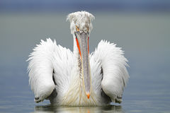 Dalmatian Pelican Stock Photos