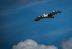 Dalmatian Pelican on Lake Prespa, Greece Royalty Free Stock Photo