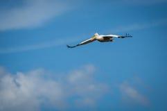 Dalmatian Pelican on Lake Prespa, Greece Royalty Free Stock Photography