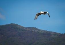 Dalmatian Pelican on Lake Prespa, Greece Royalty Free Stock Photos