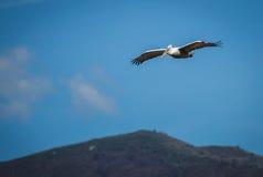 Dalmatian Pelican on Lake Prespa, Greece Royalty Free Stock Image