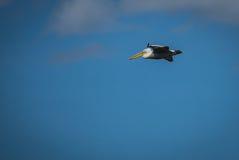 Dalmatian Pelican on Lake Prespa, Greece Stock Image