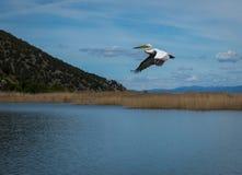 Dalmatian Pelican on Lake Prespa, Greece Stock Photos