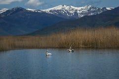 Dalmatian Pelican on Lake Prespa, Greece Stock Photo