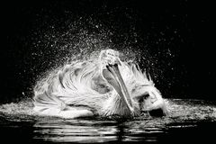 Dalmatian Pelican in a lake Stock Photos