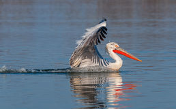 Dalmatian pelican landing on the water Royalty Free Stock Photo