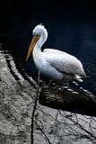 Pelican on a tree stump royalty free stock photos