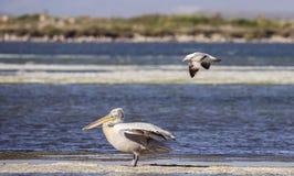 Dalmatian Pelican Molested by Yellow-legged Gull Royalty Free Stock Photos