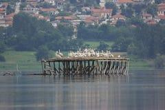 Dalmatian Pelican nesting on Lake Kerkini. The platforms or stilt houses where the Dalmatian Pelican are nesting in the Lake Kerkini, Greece Royalty Free Stock Image