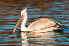 Dalmatian Pelican On Water Royalty Free Stock Images