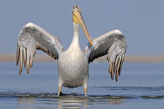 Dalmatian Pelican with open wings Royalty Free Stock Photos