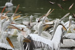 Dalmatian pelican,pelecanus crispus Royalty Free Stock Photo