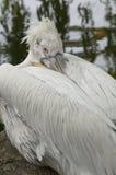 Dalmatian Pelican (Pelecanus crispus) Royalty Free Stock Photography