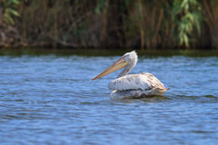 Dalmatian Pelican (Pelecanus crispus) Royalty Free Stock Photos