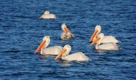 Dalmatian Pelican - Pelecanus crispus Stock Photos