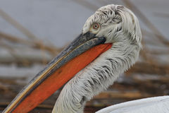 Dalmatian Pelican (Pelecanus crispus). In the Danube Delta, Romania stock images