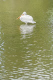 Dalmatian Pelican, Pelecanus crispus Royalty Free Stock Image