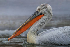Dalmatian Pelican (Pelecanus crispus) Stock Photo