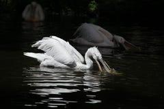 Dalmatian pelican (Pelecanus crispus) Royalty Free Stock Image