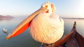 Dalmatian Pelican & x28;Pelecanus crispus& x29;. Close up of a Dalmatian Pelican & x28;Pelecanus crispus& x29;, Sitting on a Boat, Fisheye View stock photo