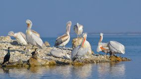 Dalmatian Pelican & x28;Pelecanus crispus& x29;. Colony on a Rocky Island stock photos