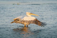 Dalmatian pelican Pelecanus crispus in Danube Delta at sunrise. Wildlife birds and birdwatching photography and a common sighting for tourists in the Danube stock image