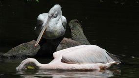 Dalmatian Pelican-Pelecanus crispus-fishing in the lake stock video footage