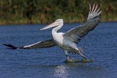 Dalmatian pelican Stock Photography