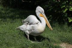 Dalmatian pelican (Pelecanus crispus). Royalty Free Stock Photos