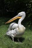 Dalmatian pelican (Pelecanus crispus). Royalty Free Stock Images