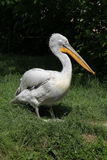 Dalmatian pelican (Pelecanus crispus) Royalty Free Stock Photo