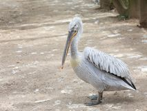 The Dalmatian pelican Pelecanus crispus on land in Danube Delta - Romania, Europe. The Dalmatian pelican Pelecanus crispus on land, the world`s largest member of royalty free stock image