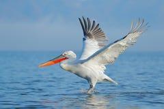 Dalmatian pelican, Pelecanus crispus, landing in Lake Kerkini, Greece. Pelican with open wings. Wildlife scene from European. Nature. Bird landing to the blue royalty free stock images