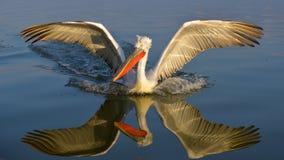 Dalmatian Pelican & x28;Pelecanus crispus& x29;. LAnding on Water Royalty Free Stock Photo