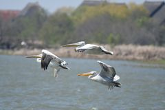Dalmatian pelicans Pelecanus crispus. The Dalmatian Pelican Pelecanus crispus is a member of the pelican family. It breeds from southeastern Europe to India and royalty free stock images
