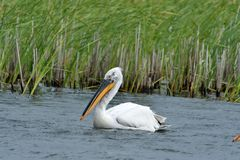 Dalmatian pelicans Pelecanus crispus. The Dalmatian Pelican Pelecanus crispus is a member of the pelican family. It breeds from southeastern Europe to India and royalty free stock photo