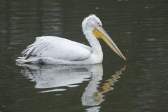 Dalmatian pelican, Pelecanus crispus Royalty Free Stock Photo