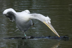 Dalmatian pelican, Pelecanus crispus Royalty Free Stock Images