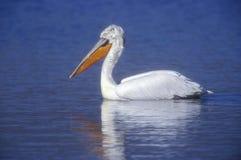 Dalmatian pelican, Pelecanus crispus Stock Photography
