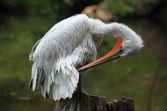 Dalmatian pelican (Pelecanus crispus) Royalty Free Stock Images