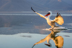 Dalmatian pelican Pelecanus crispus. Shot at sunrise at lake Kerkini in Greece Stock Photos
