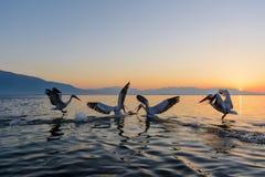 Dalmatian pelican Pelecanus crispus. Shot at sunrise at lake Kerkini in Greece Royalty Free Stock Photos